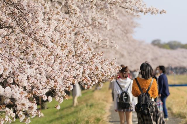 桜満開のイメージ